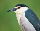 Nachtreiher / Black-crowned Night Heron