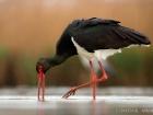 Schwarzstorch / Black Stork
