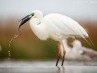 Silberreiher / Great White Egret