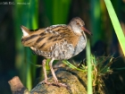 Wasserralle / Water Rail