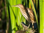 Zwergdommel / Little Bittern