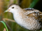 Kleines Sumpfhuhn / Little Crake