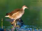 Teichhuhn / Common Moorhen
