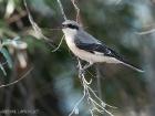 Schwarzstirnwürger / Lesser Grey Shrike