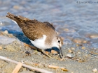 Flussuferlufer / Common Sandpiper