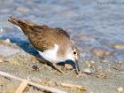 Flussuferläufer / Common Sandpiper