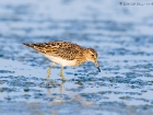 Graubruststrandlufer / Pectoral Sandpiper