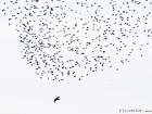 Sakerfalke / Saker Falcon