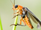 Weichkäfer / Soldier Beetle
