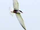 Weibartseeschwalbe / Whiskered Tern