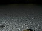 Wechselkröte / European Green Toad