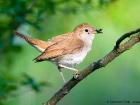 Nachtigall / Nightingale