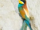 Bienenfresser / European Bee-eater