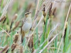 Seggenrohrsnger / Aquatic Warbler