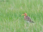 Uferschnepfe / Black-tailed Godwit