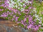 Polsterpflanzen / Cushion plant