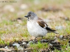 Schneesperling / White-winged Snowfinch