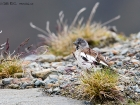 Schneesperling / White-winged Snowfinch