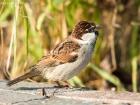 Italiensperling / Italian Sparrow
