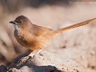 Akaziendrossling / Fulvous Babbler