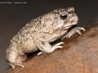Berberkrte / Berber Toad