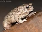 Berberkröte / Berber Toad