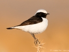 Berbersteinschmtzer / Maghreb Wheatear