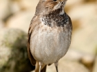 Blaukehlchen / Bluethroat