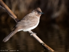 Graublbl / Common Bulbul
