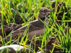 Haubenlerche / Crested Lark