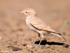 Sandlerche / Bar-tailed Lark