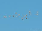Tropfenflughuhn / Spotted Sandgrouse