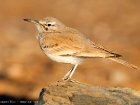 Wstenluferlerche / Hoopoe Lark