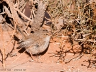 Wstenprinie / Scrub Warbler