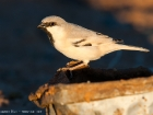 Wstensperling / Desert Sparrow