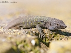 Kanareneidechse / Tenerife Lizard