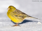Kanarengirlitz / Atlantic Canary