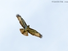 Musebussard / Common Buzzard