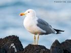 Mittelmeermöwe / Yellow-legged Gull