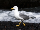 Mittelmeermöwe / Yellow-legged Gull