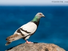 Felsentaube / Rock Dove