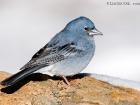 Teydefink / Blue Chaffinch