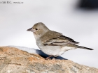 Teydefink / Blue Chaffinch
