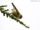 Teneriffa-Goldhhnchen / Tenerife Goldcrest