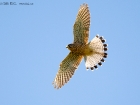 Turmfalke / Common Kestrel