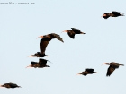 Waldrapp / Northern Bald Ibis