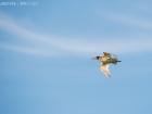 Rotschenkel / Common Redshank