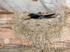 Rauchschwalbe / Barn Swallow