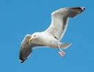 Mantelmöwe / Great Black-backed Gull
