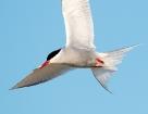 Küstenseeschwalbe / Arctic Tern